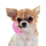 Chihuahua e flor do filhote de cachorro fotografia de stock royalty free