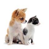 Chihuahua e gattino del cucciolo immagini stock libere da diritti