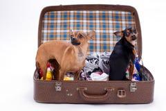 Chihuahua e giocattolo-Terrier in valigia di viaggio Immagine Stock