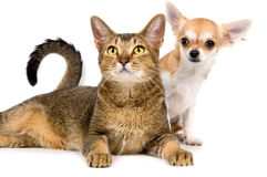 A chihuahua e o gato do filhote de cachorro no estúdio Imagem de Stock Royalty Free