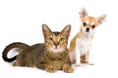 A chihuahua e o gato do filhote de cachorro no estúdio Fotografia de Stock Royalty Free