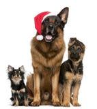 Chihuahua e pastores alemães com chapéu de Santa Imagens de Stock