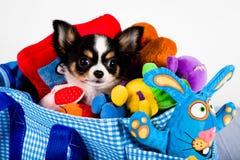Chihuahua in een dragende zak royalty-vrije stock afbeeldingen