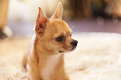 Chihuahua in een helder binnenland Royalty-vrije Stock Foto