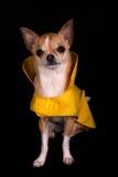 Chihuahua in een Regenjas Royalty-vrije Stock Foto's