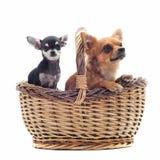 Chihuahua in einem Korb stockfotos