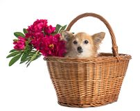 Chihuahua in einem Korb mit Blume lizenzfreie stockfotografie