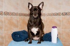 Chihuahua in einem Tuch und in einem Shampoo Stockfoto