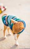Chihuahua in einer festlichen Strickjacke Lizenzfreies Stockbild