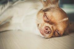 Chihuahua el dormir Fotos de archivo libres de regalías