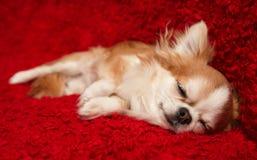Chihuahua el dormir en fondo rojo Imagen de archivo libre de regalías