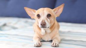 Chihuahua El perro rojo feliz miente en el sofá y menea su cola El perro disfruta su amo Perro mezclado marrón juguetón de la raz metrajes