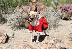 Chihuahua em um bocejo do vestido exterior Imagens de Stock
