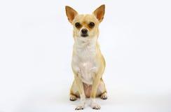 Chihuahua em um fundo branco Foto de Stock Royalty Free