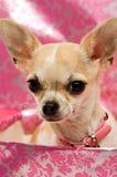 Chihuahua em uma caixa de presente cor-de-rosa Imagem de Stock