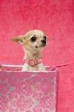 Chihuahua em uma caixa de presente cor-de-rosa Fotos de Stock