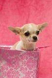 Chihuahua em uma caixa de presente cor-de-rosa Imagens de Stock