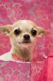 Chihuahua em uma caixa de presente cor-de-rosa Foto de Stock Royalty Free