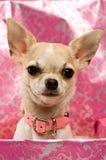 Chihuahua em uma caixa de presente cor-de-rosa Foto de Stock
