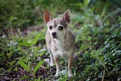 Chihuahua em uma caminhada Imagem de Stock