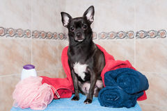Chihuahua em uma toalha e em um champô fotografia de stock royalty free