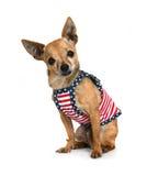 Chihuahua en alineada fotografía de archivo libre de regalías