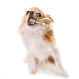 Chihuahua en bol royalty-vrije stock afbeelding