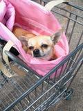 Chihuahua en carretilla de las compras Imágenes de archivo libres de regalías