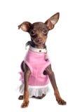 Chihuahua en color de rosa Foto de archivo libre de regalías