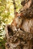 Chihuahua en de boom Stock Foto
