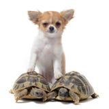 Chihuahua en de schildpadden van het puppy Stock Foto's