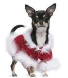 Chihuahua en el equipo de Santa, 7 meses Imagenes de archivo