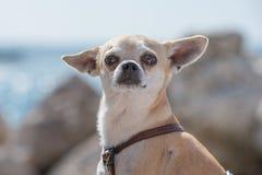 Chihuahua en el mar Imagen de archivo libre de regalías