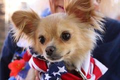 Chihuahua en el pañuelo que lleva del evento del rescate Imagenes de archivo