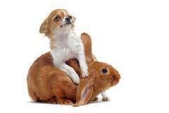 Chihuahua en het konijntje van het puppy Stock Afbeelding