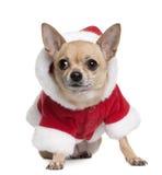 Chihuahua en la capa de Santa, 6 años Fotografía de archivo libre de regalías