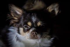 Chihuahua en la oscuridad Fotografía de archivo