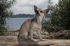 Chihuahua en la playa Fotos de archivo libres de regalías