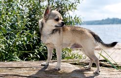 Chihuahua en la playa Foto de archivo