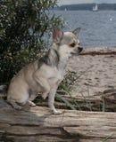 Chihuahua en la playa Fotografía de archivo