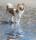 Chihuahua en la playa Fotos de archivo