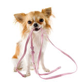 Chihuahua en leiband stock afbeelding