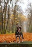 Chihuahua en parque del otoño Fotos de archivo libres de regalías
