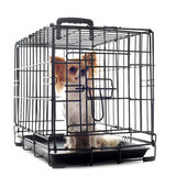 Chihuahua en perrera Imagen de archivo libre de regalías