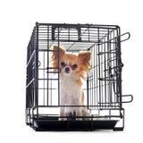 Chihuahua en perrera Imagen de archivo