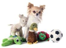 Chihuahua en speelgoed stock foto's