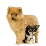 Chihuahua en spitz Royalty-vrije Stock Fotografie