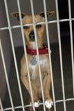 Chihuahua en un chage en el abrigo animal que espera para ser adoptado Fotos de archivo