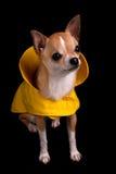 Chihuahua en un impermeable Fotografía de archivo libre de regalías