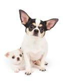 Chihuahua en zijn puppy Royalty-vrije Stock Fotografie